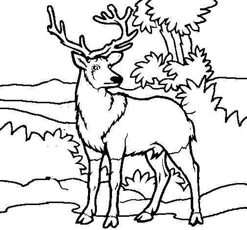 Coloriage de Cerf adulte pour Colorier