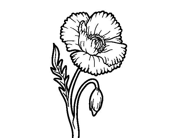 Coloriage de Une fleur de coquelicot pour Colorier